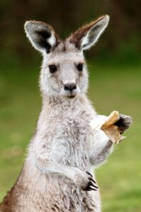 Kangaroo with rubbish