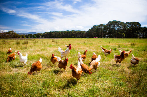 Sustainable procurement and strategy for Ingham's Chicken